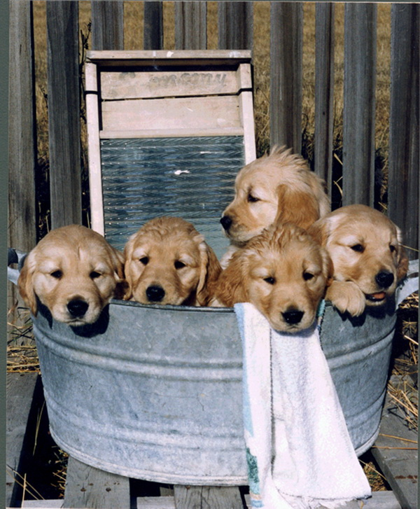 Pups_in_Tub